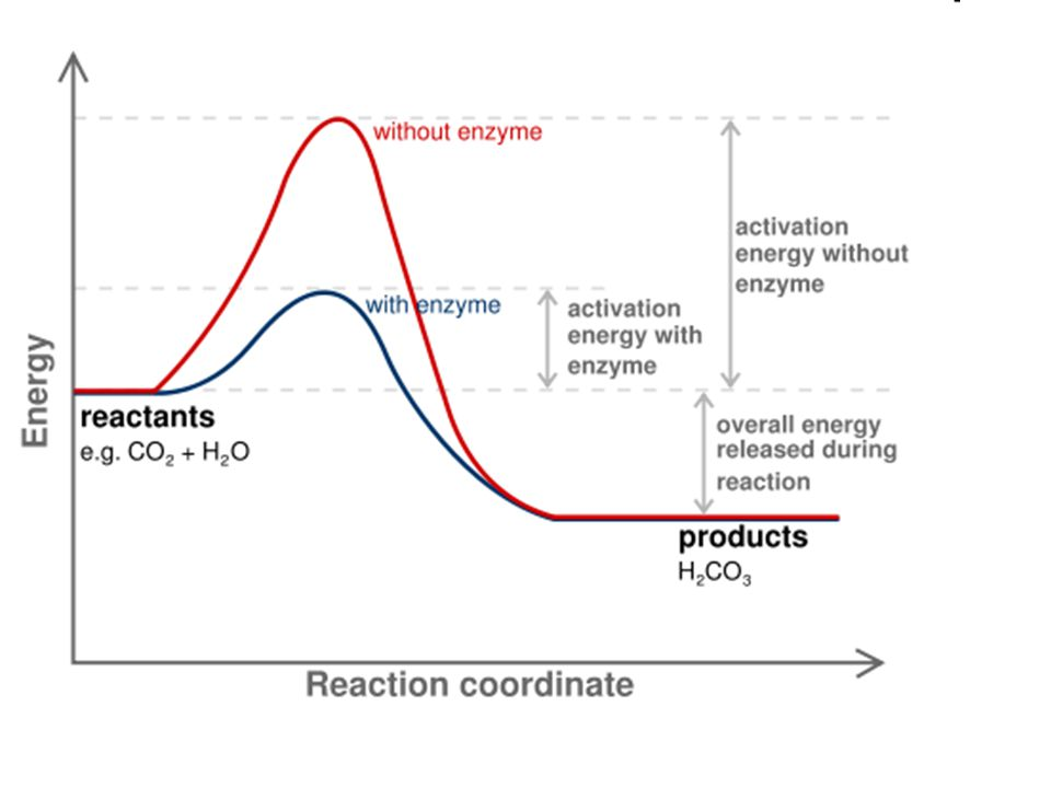 Enzymes Substance that acts as a catalyst in living organisms, regulating the rate at which life s chemical reactions proceed without being altered in the process.