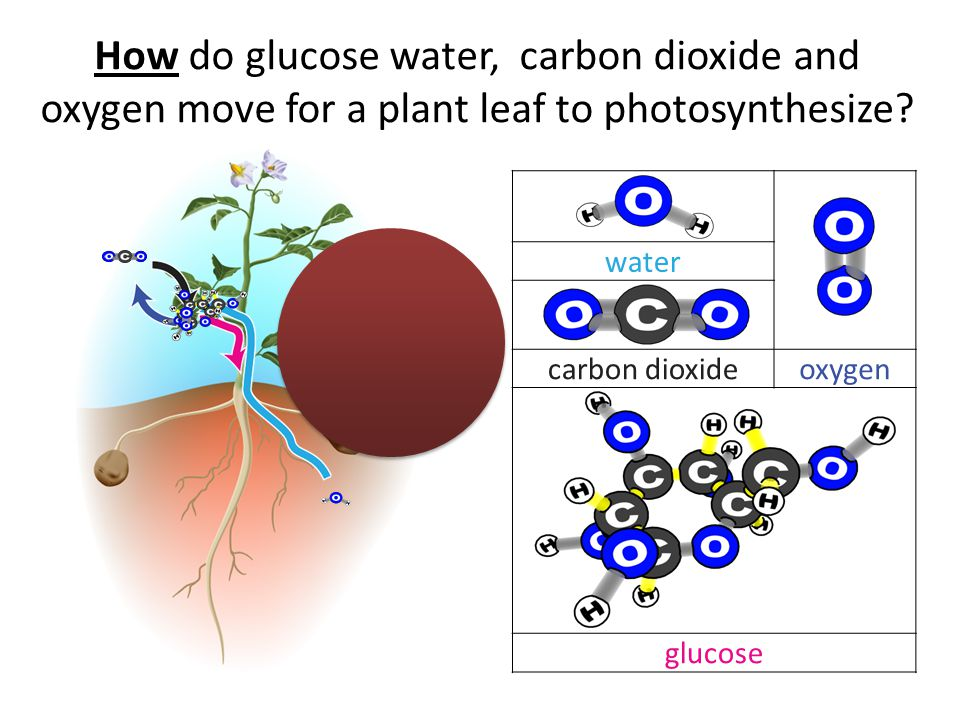 How do glucose water, carbon dioxide and oxygen move for a plant leaf to photosynthesize.