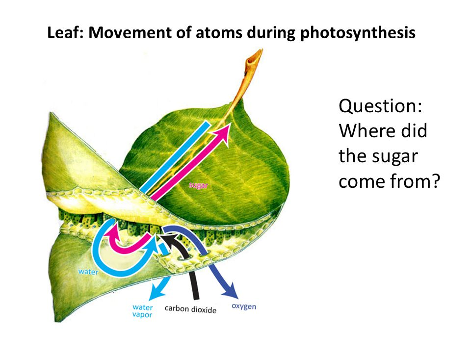 Leaf: Movement of atoms during photosynthesis Question: Where did the sugar come from