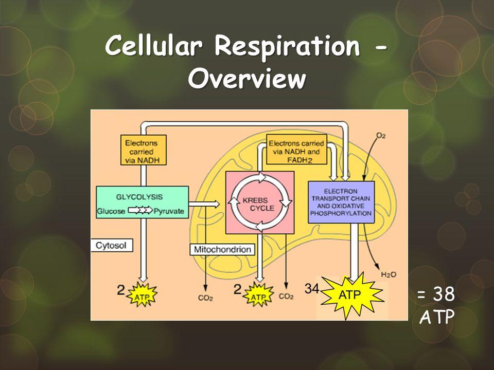 Cellular Respiration - Overview = 38 ATP