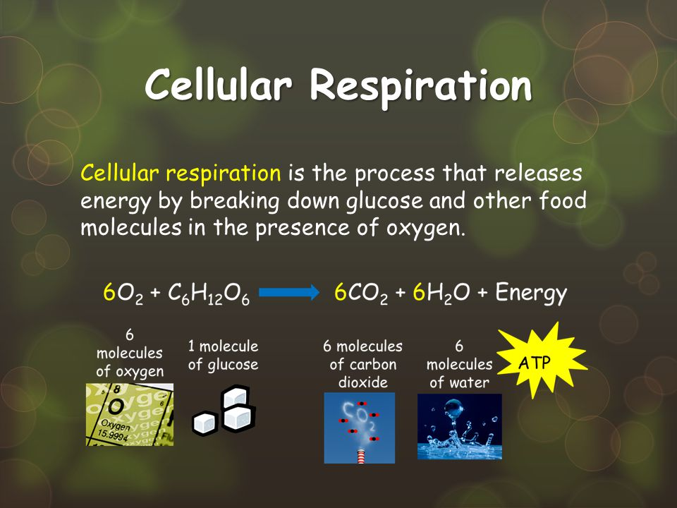 Cellular Respiration Cellular respiration is the process that releases energy by breaking down glucose and other food molecules in the presence of oxy