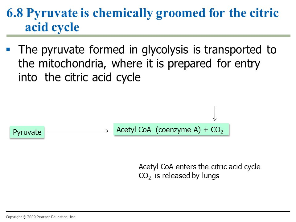 6.8 Pyruvate is chemically groomed for the citric acid cycle  The pyruvate formed in glycolysis is transported to the mitochondria, where it is prepa