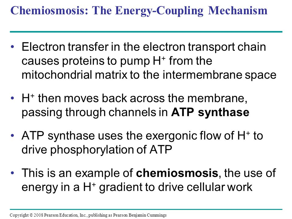 Chemiosmosis: The Energy-Coupling Mechanism Electron transfer in the electron transport chain causes proteins to pump H + from the mitochondrial matri