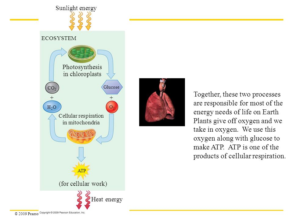 © 2009 Pearson Education, Inc. Sunlight energy ECOSYSTEM Photosynthesis in chloroplasts Glucose Cellular respiration in mitochondria H2OH2O CO 2 O2O2