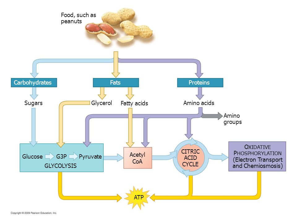 Food, such as peanuts ProteinsFatsCarbohydrates Glucose O XIDATIVE P HOSPHORYLATION (Electron Transport and Chemiosmosis) CITRIC ACID CYCLE Acetyl CoA