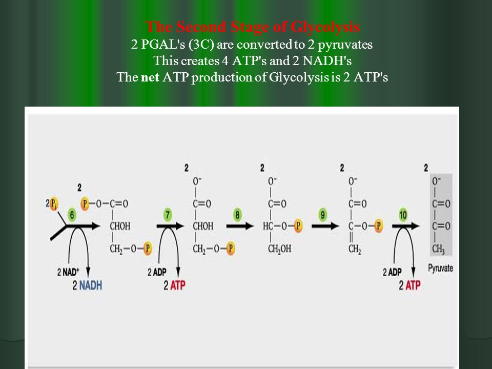 The Second Stage of Glycolysis 2 PGAL s (3C) are converted to 2 pyruvates This creates 4 ATP s and 2 NADH s The net ATP production of Glycolysis is 2 ATP s
