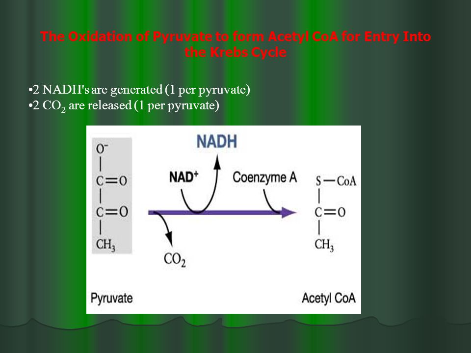 The Oxidation of Pyruvate to form Acetyl CoA for Entry Into the Krebs Cycle 2 NADH s are generated (1 per pyruvate) 2 CO 2 are released (1 per pyruvate)