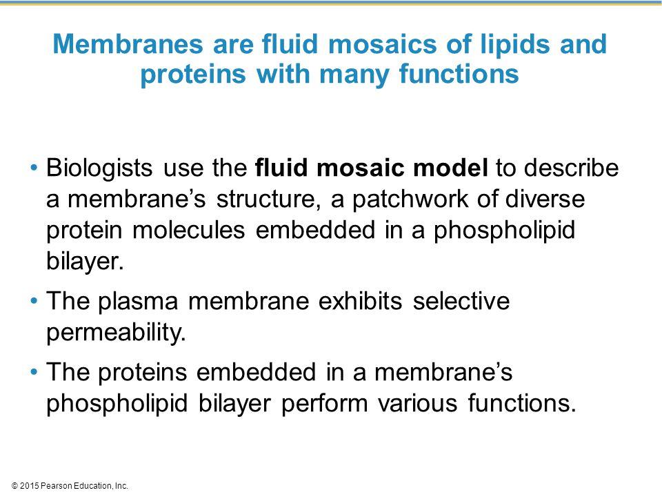 Figure 5.1 Phospholipid Cholesterol Membrane proteins Microfilaments of cytoskeleton Extracellular side of membrane Fibers of extracellular matrices (ECM) Cytoplasmic side of membrane O2O2 CO 2