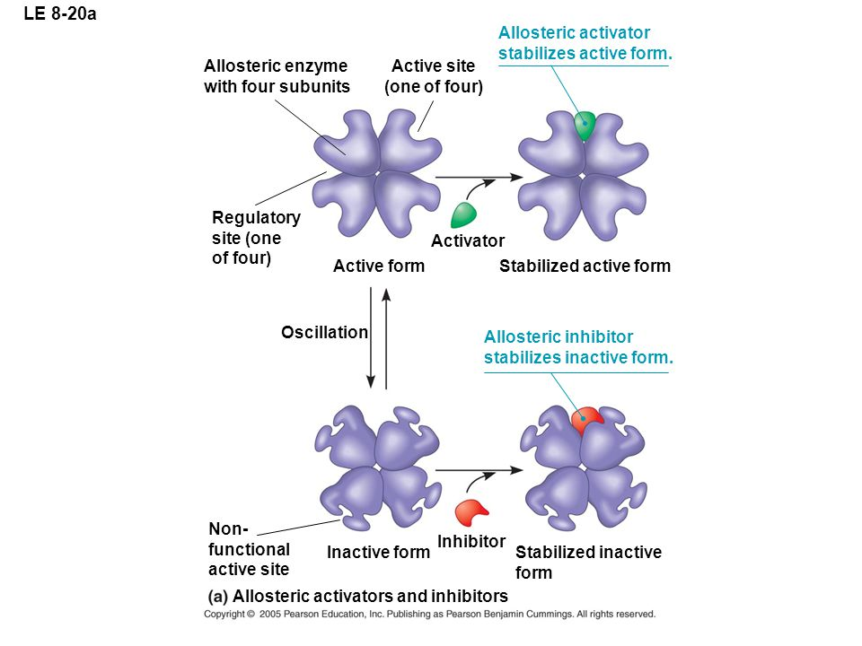 LE 8-20a Allosteric enzyme with four subunits Regulatory site (one of four) Active form Activator Stabilized active form Active site (one of four) Allosteric activator stabilizes active form.