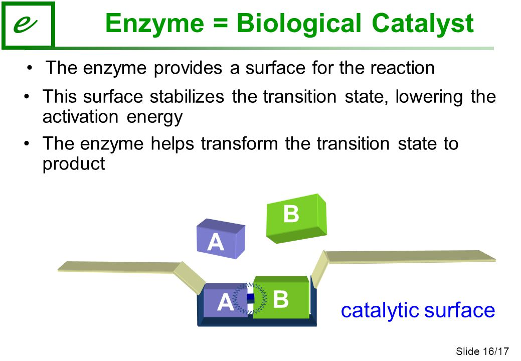 Slide 16/17 e The enzyme provides a surface for the reaction This surface stabilizes the transition state, lowering the activation energy The enzyme helps transform the transition state to product B B A catalytic surface A Enzyme = Biological Catalyst