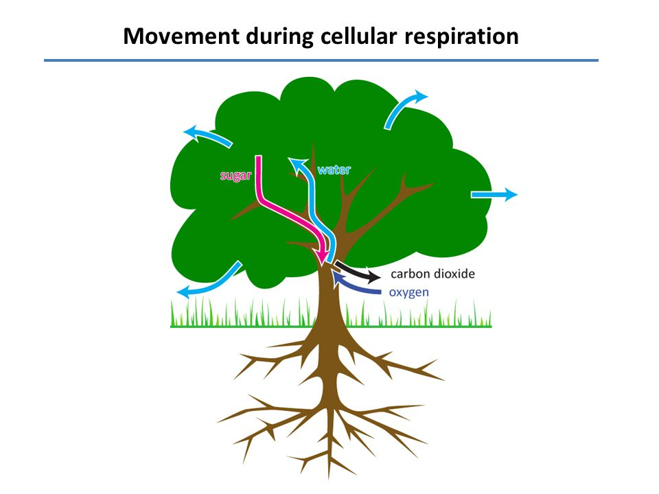 Movement during cellular respiration