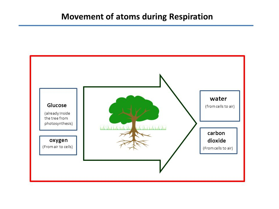 Movement of atoms during Respiration water carbon dioxide Glucose oxygen (From cells to air) (from cells to air) (From air to cells) (already Inside the tree from photosynthesis)