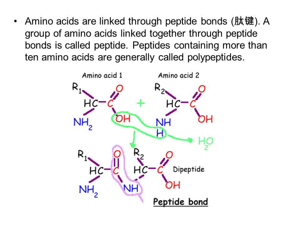 Amino acids are linked through peptide bonds ( 肽键 ).