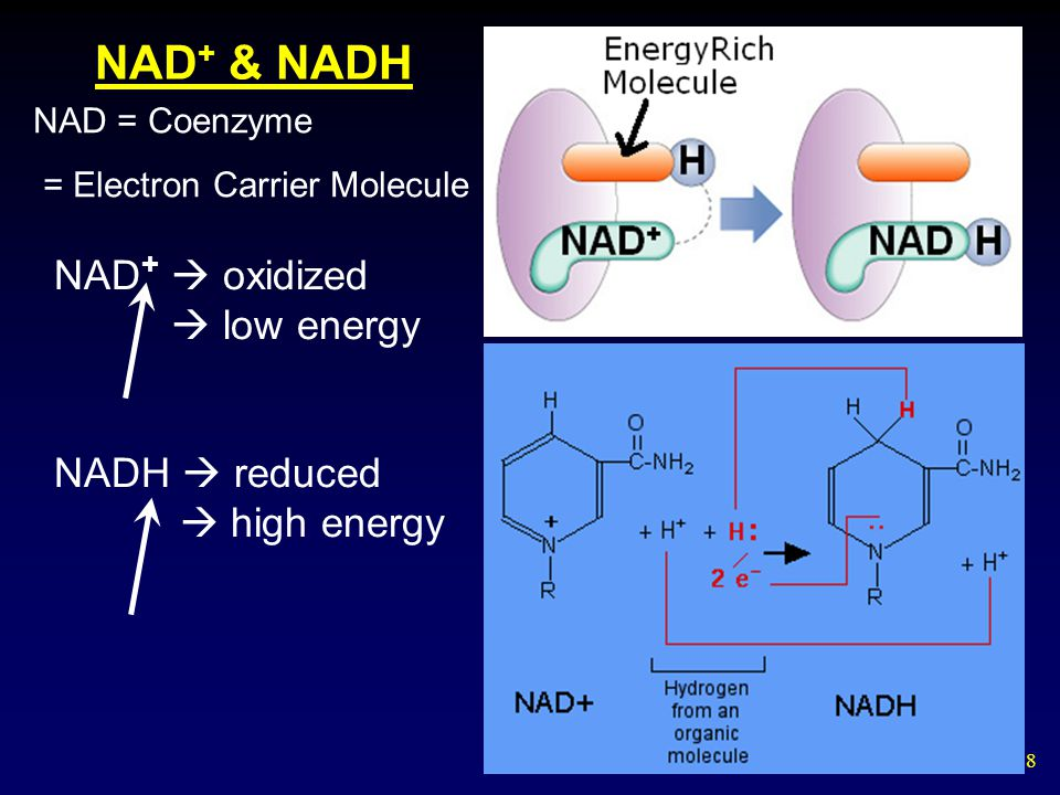 8 NAD + & NADH NAD = Coenzyme = Electron Carrier Molecule NAD +  oxidized  low energy NADH  reduced  high energy