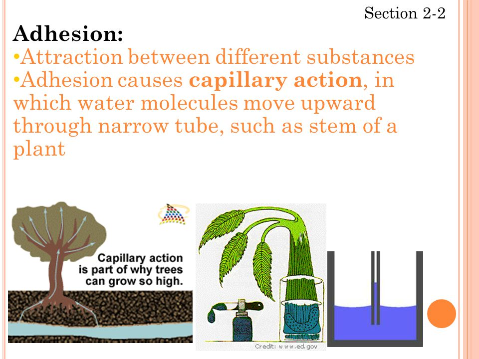 Section 2-2 Adhesion: Attraction between different substances Adhesion causes capillary action, in which water molecules move upward through narrow tube, such as stem of a plant