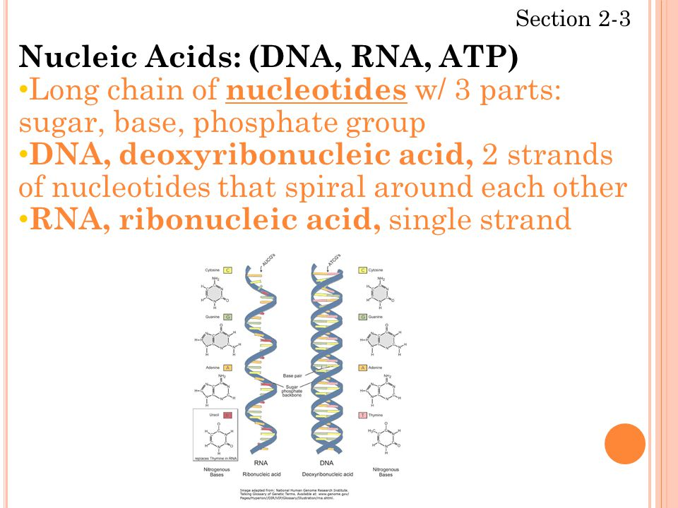 Section 2-3 Nucleic Acids: (DNA, RNA, ATP) Long chain of nucleotides w/ 3 parts: sugar, base, phosphate group DNA, deoxyribonucleic acid, 2 strands of nucleotides that spiral around each other RNA, ribonucleic acid, single strand