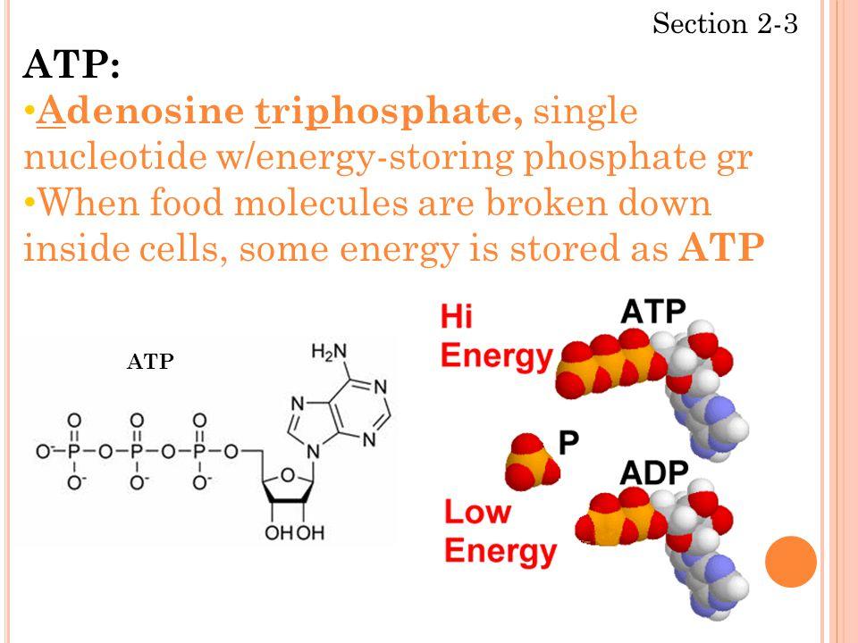 Section 2-3 ATP: Adenosine triphosphate, single nucleotide w/energy-storing phosphate gr When food molecules are broken down inside cells, some energy