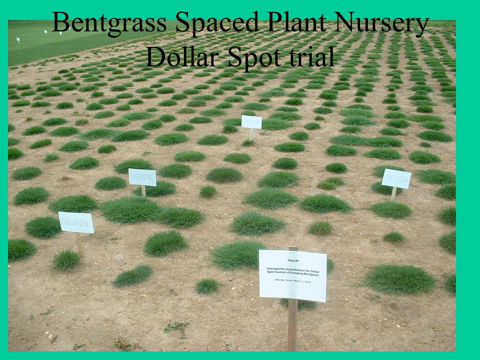 Bentgrass Spaced Plant Nursery Dollar Spot trial
