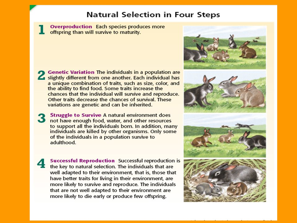 Natural Selection in Four Steps Step 4: Successful Reproduction Successful reproduction is the key to natural selection. The individuals that are well