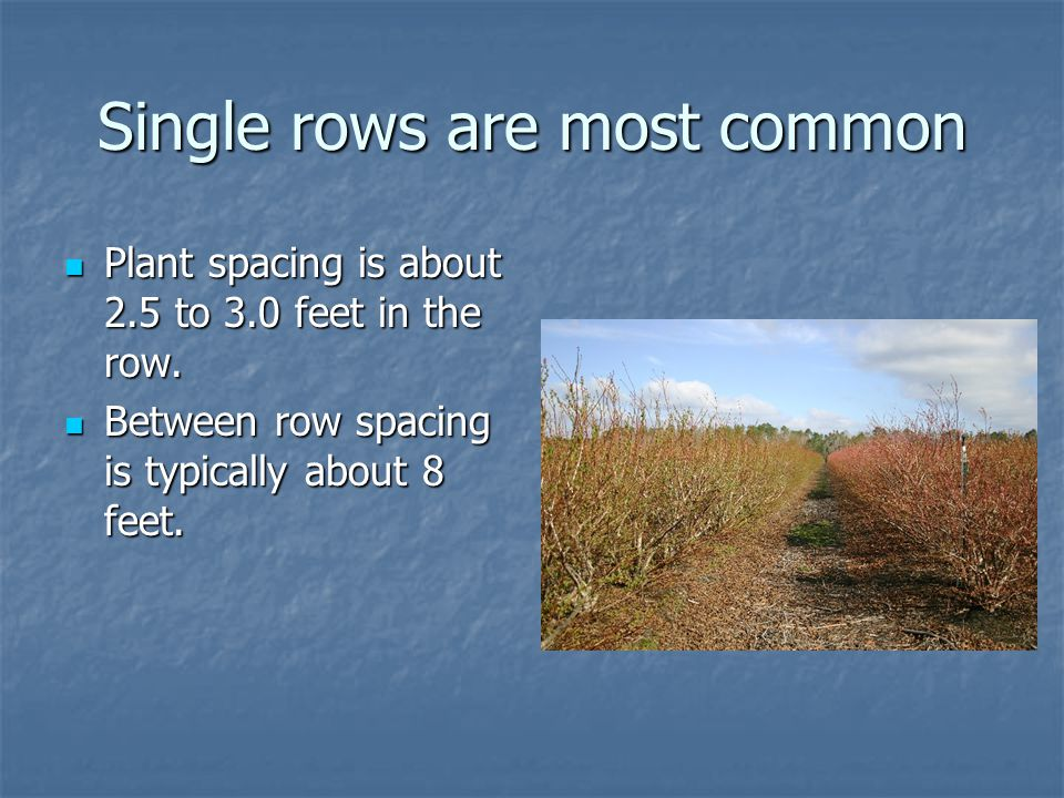 Single rows are most common Plant spacing is about 2.5 to 3.0 feet in the row.