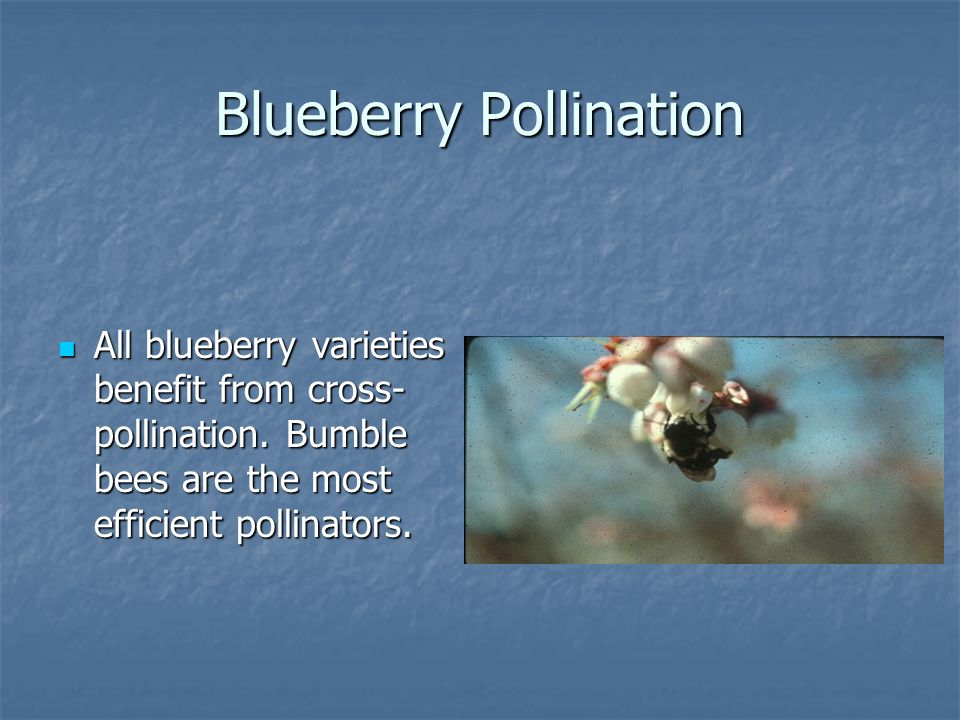 Blueberry Pollination All blueberry varieties benefit from cross- pollination.