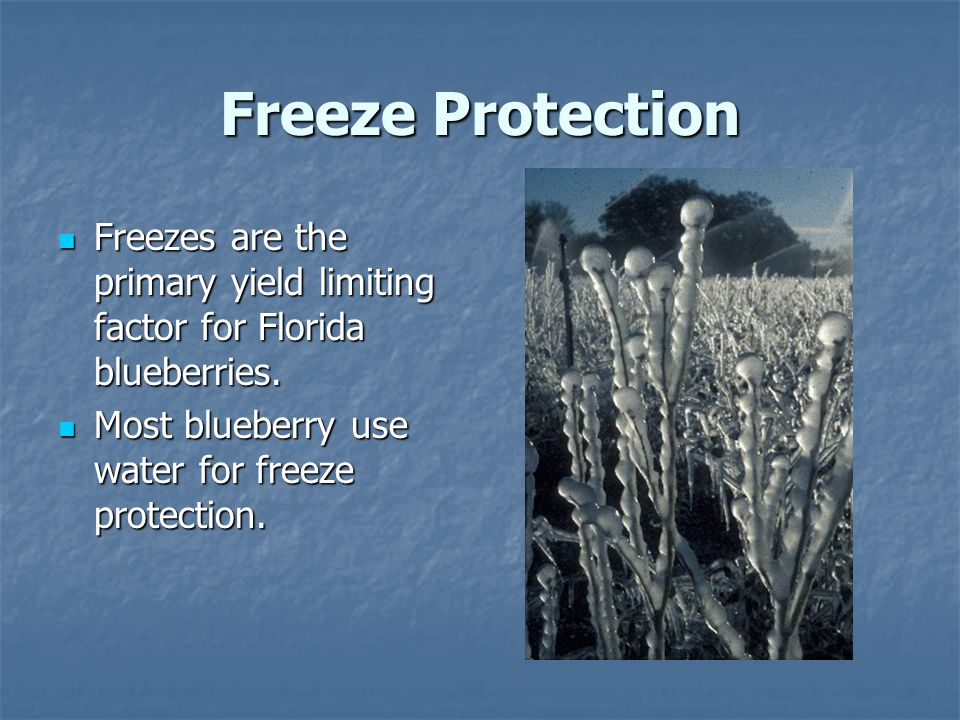Freeze Protection Freezes are the primary yield limiting factor for Florida blueberries.