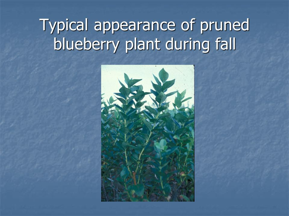 Typical appearance of pruned blueberry plant during fall