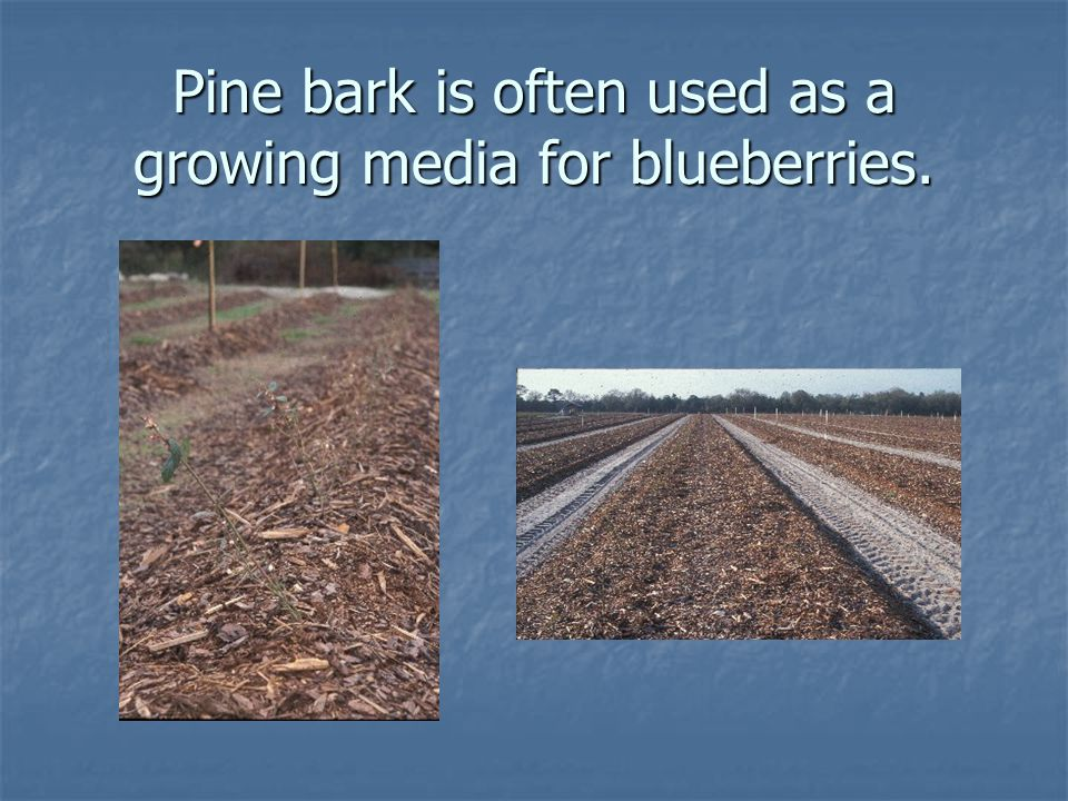 Pine bark is often used as a growing media for blueberries.