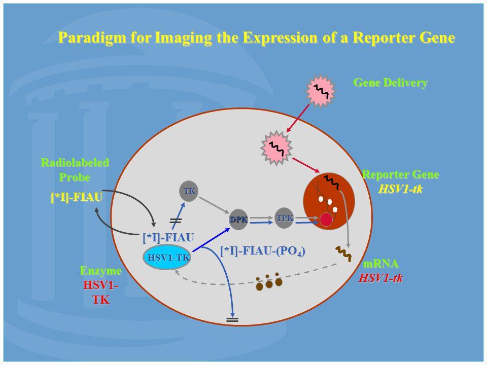 HSV1-TK TK DPK TPK [*I]-FIAU [*I]-FIAU [*I]-FIAU-(PO 4 ) Reporter Gene HSV1-tk RadiolabeledProbe Gene Delivery mRNAHSV1-tk Paradigm for Imaging the Expression of a Reporter Gene Enzyme HSV1- TK