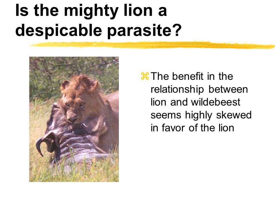 Is the mighty lion a despicable parasite? zThe benefit in the relationship between lion and wildebeest seems highly skewed in favor of the lion