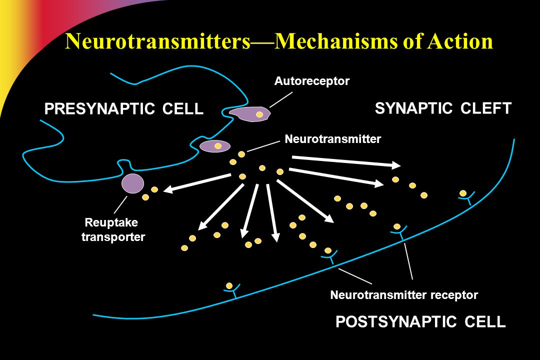 Reuptake transporter Autoreceptor Neurotransmitter Neurotransmitter receptor POSTSYNAPTIC CELL PRESYNAPTIC CELL SYNAPTIC CLEFT Neurotransmitters—Mecha