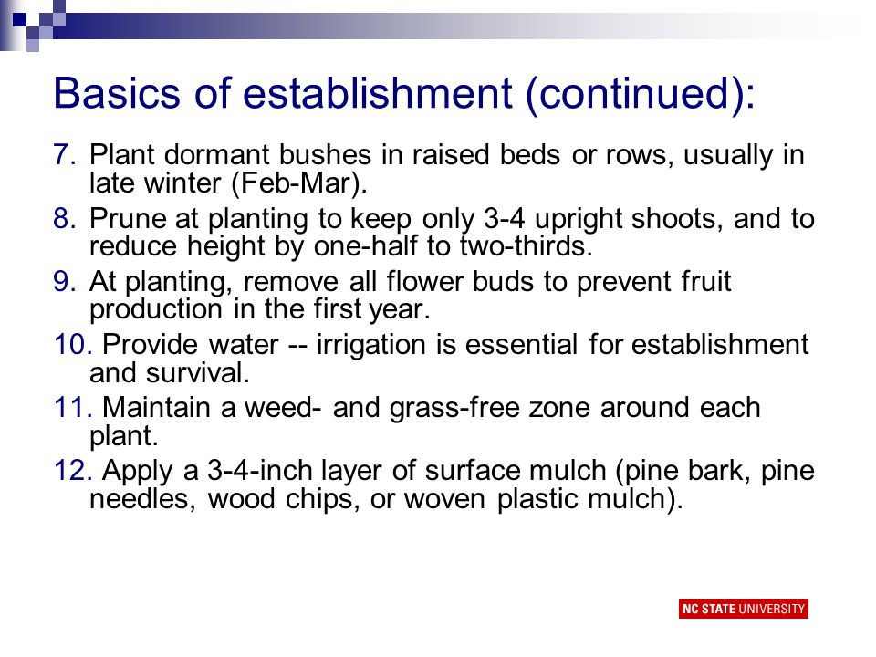 Basics of establishment (continued): 7.Plant dormant bushes in raised beds or rows, usually in late winter (Feb-Mar).