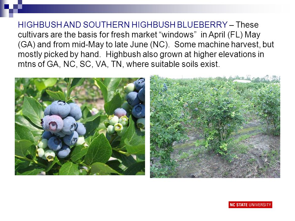 Harvest Timing and Handling Highbush and southern highbush blueberries – pick every 5-7 days or less Rabbiteye blueberries – pick every 10 days to allow fruit to fully ripen Pick all ripe fruit on the bush.