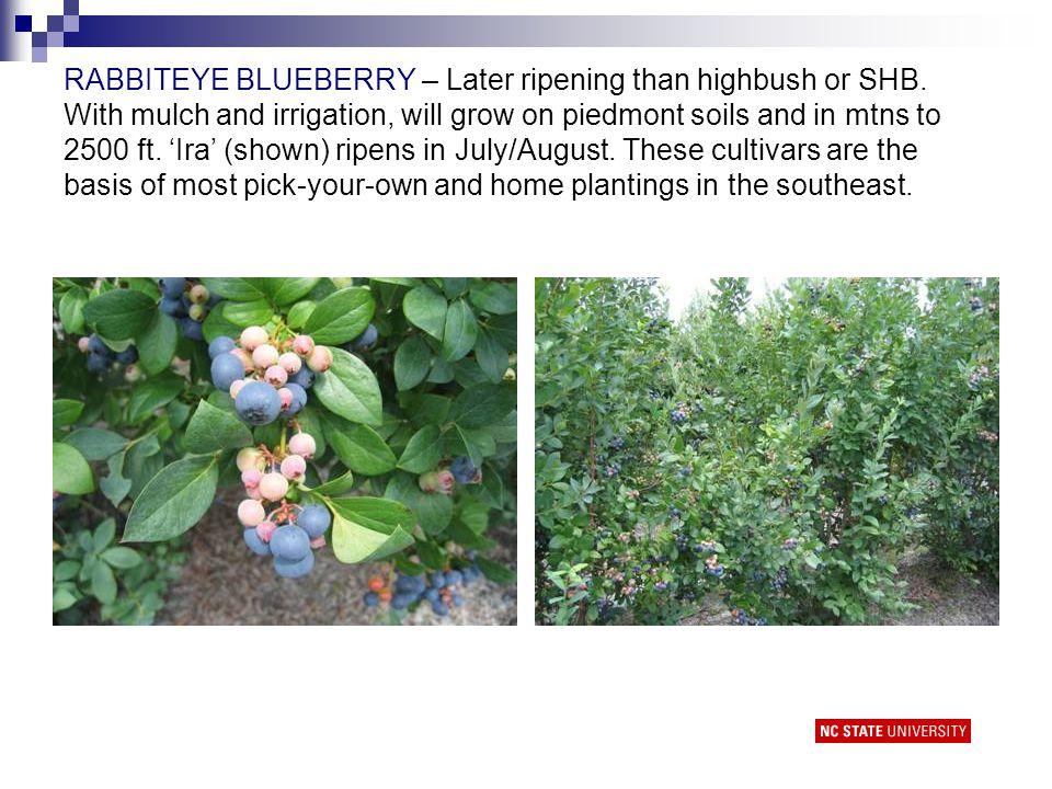 Blueberry harvest timing by cultivar and type in southeastern NC (selected cultivars) Cultivar MayJuneJulyAugust O'Neal Reveille Duke Legacy Premier Columbus Tifblue, Ira Powderblue Highbush/Southern HB =Rabbiteye =