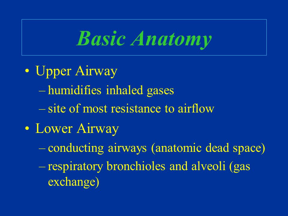 Basic Anatomy Upper Airway –humidifies inhaled gases –site of most resistance to airflow Lower Airway –conducting airways (anatomic dead space) –respi