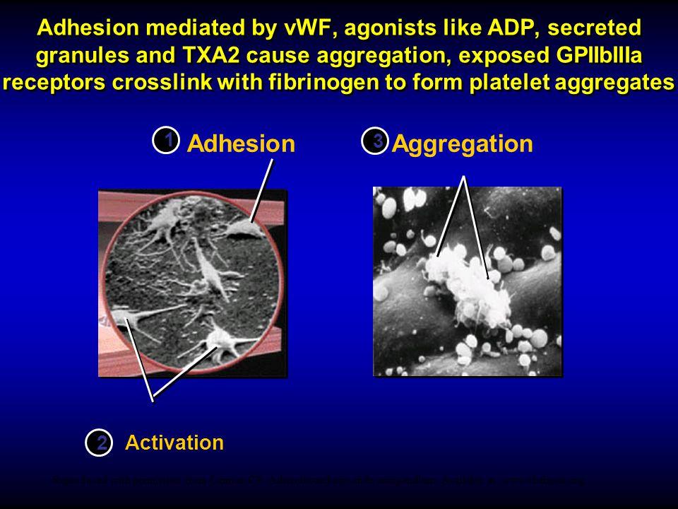 MONOCYTE MACROPHAGE THROMBOCYTE AGGREGATION THROMBOCYTE AGGREGATION FIBRIN THROMBUS SMOOTH MUSCLE CELL ENDOTHELIUM THROMBOCYTE ADHESION THROMBOCYTE ADHESION
