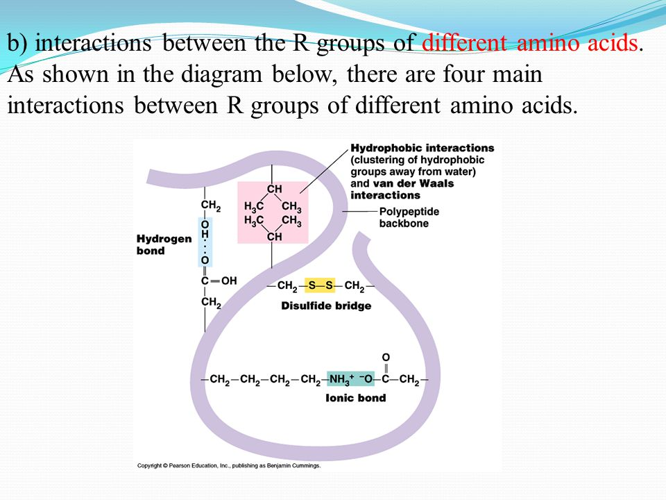 b) interactions between the R groups of different amino acids.