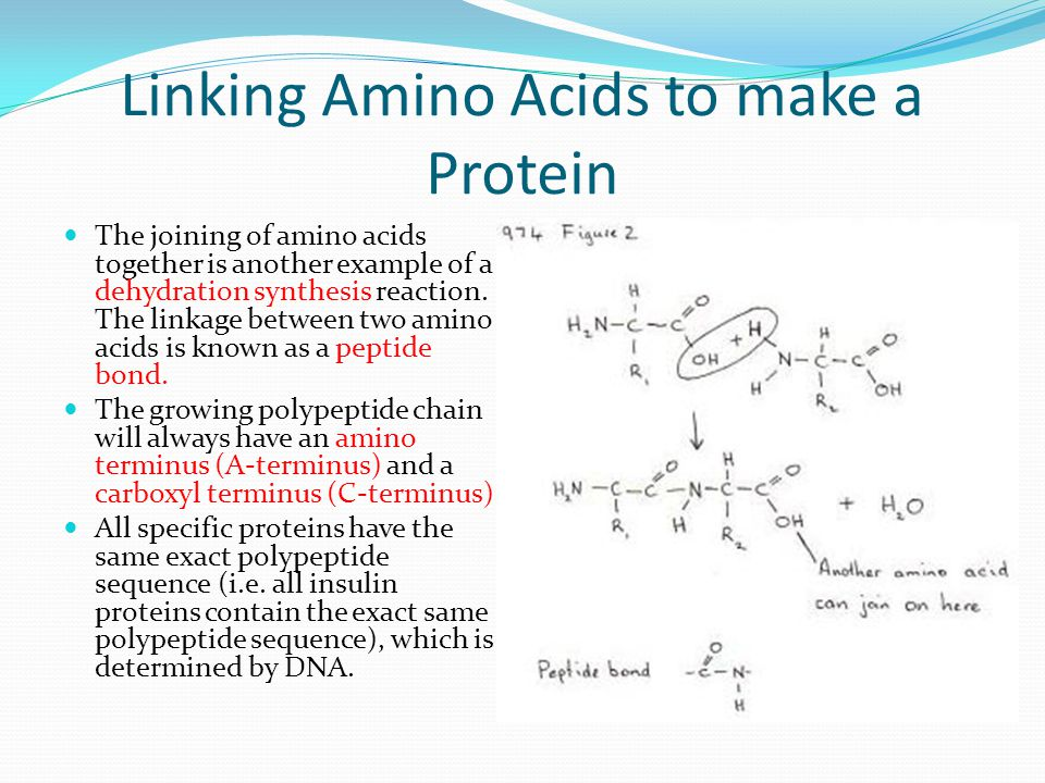 Linking Amino Acids to make a Protein The joining of amino acids together is another example of a dehydration synthesis reaction.