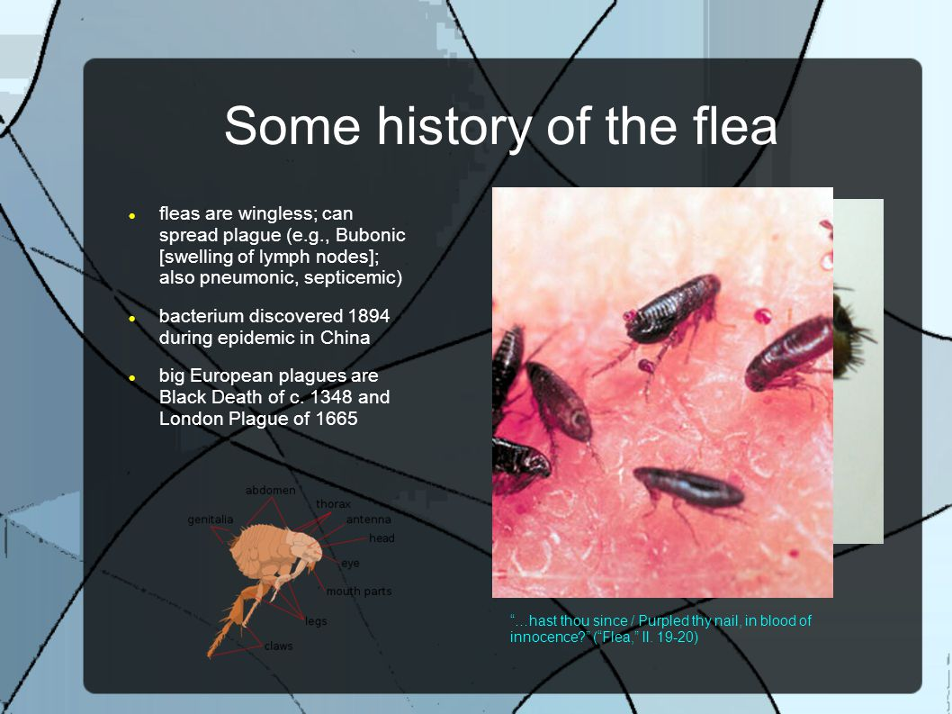 Some history of the flea fleas are wingless; can spread plague (e.g., Bubonic [swelling of lymph nodes]; also pneumonic, septicemic) bacterium discovered 1894 during epidemic in China big European plagues are Black Death of c.