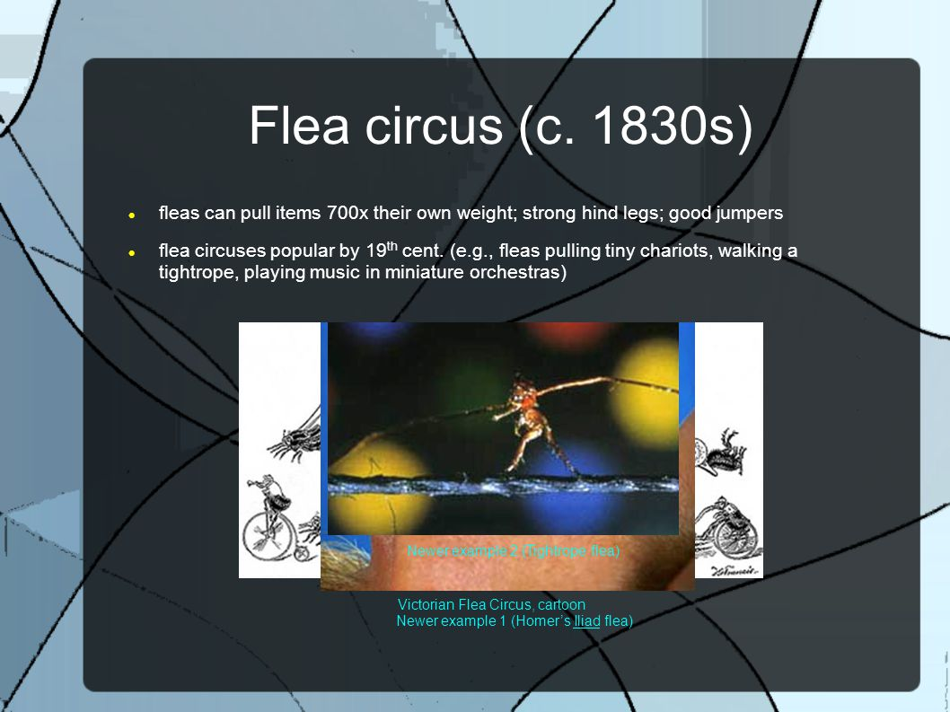 Flea circus (c. 1830s) fleas can pull items 700x their own weight; strong hind legs; good jumpers flea circuses popular by 19 th cent. (e.g., fleas pu
