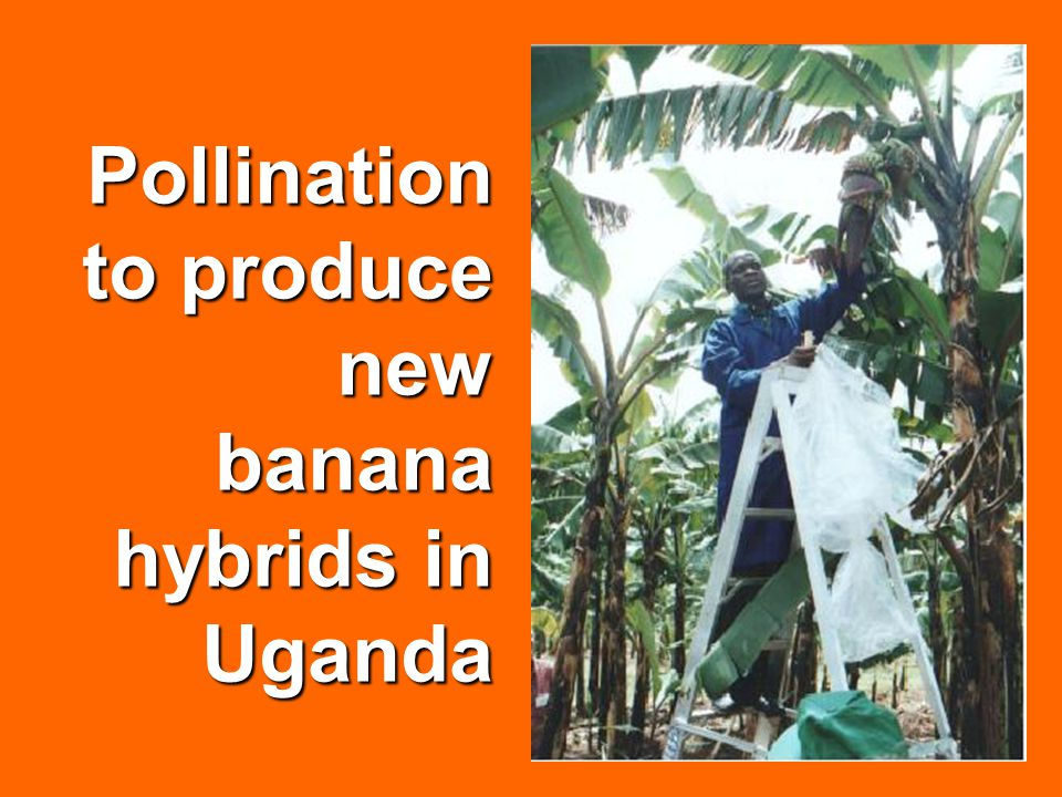 Pollination to produce new banana hybrids in Uganda
