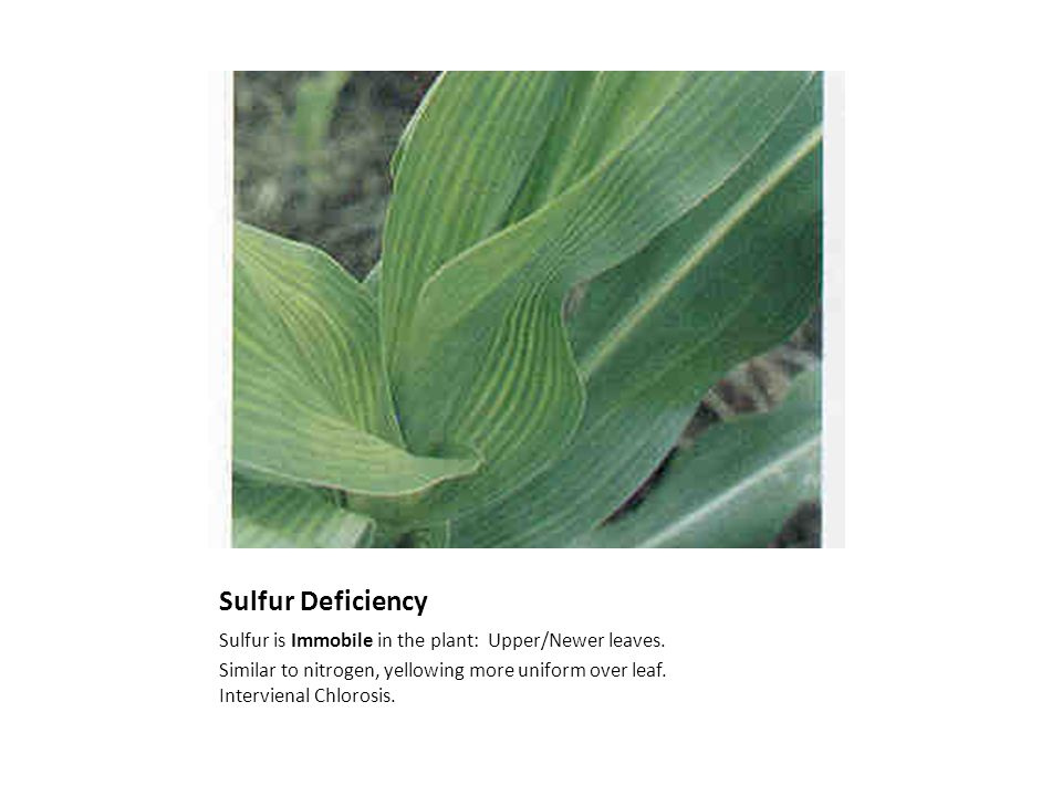 Sulfur Deficiency Sulfur is Immobile in the plant: Upper/Newer leaves.