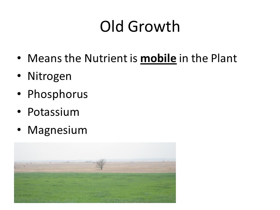 Nitrogen Deficiency Nitrogen is mobile in the Plant : Lower/Older Leaves Yellow from the tip toward the mid rib