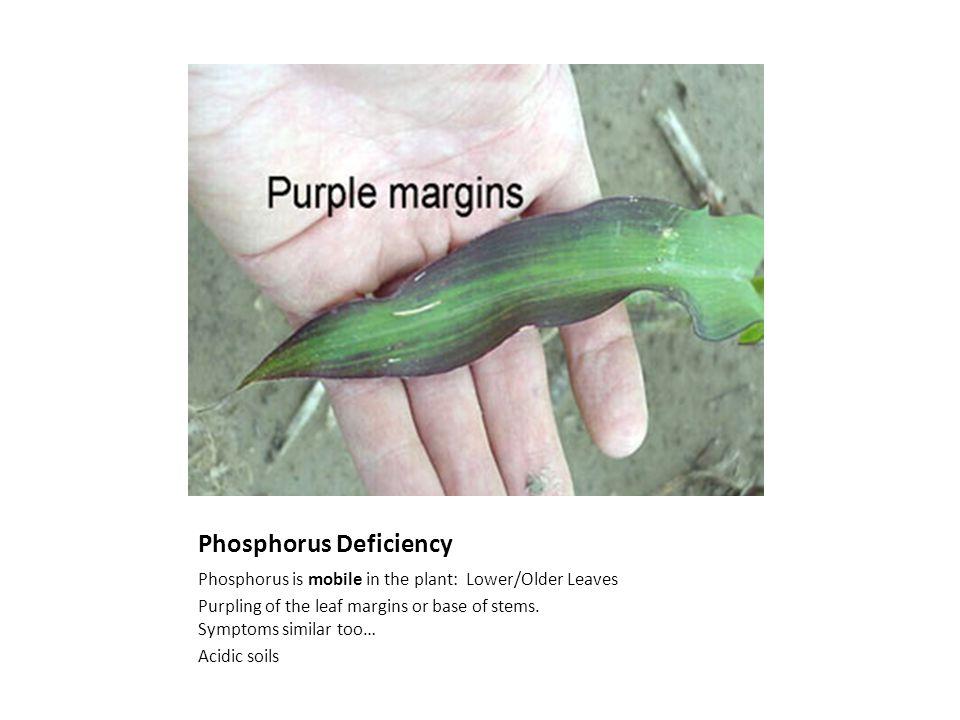 Phosphorus Deficiency Phosphorus is mobile in the plant: Lower/Older Leaves Purpling of the leaf margins or base of stems.