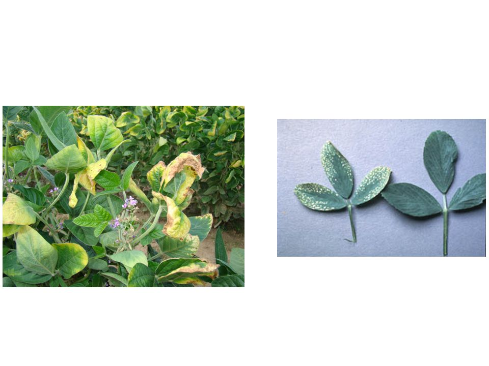 Zinc Deficiency Zinc relatively immobile in plant: Upper/Newer leaves Purple margins, inward purple blotching, bleached bands on either side of midrib near base, intervienal chlorosis Acidic, Sandy soils, Calcareous pH>8