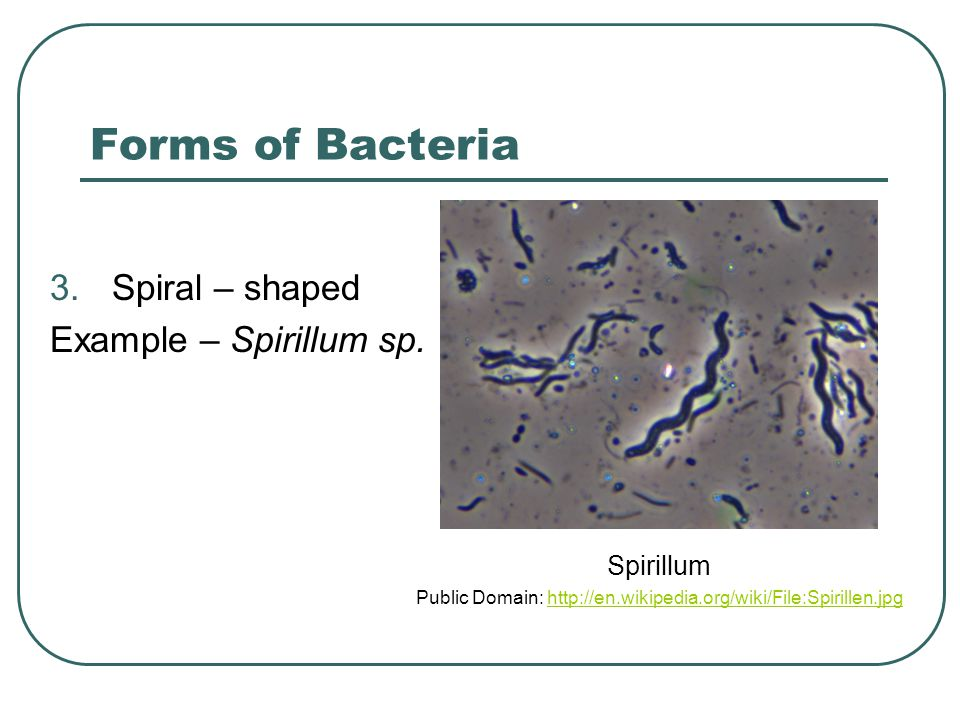Forms of Bacteria 3.Spiral – shaped Example – Spirillum sp.