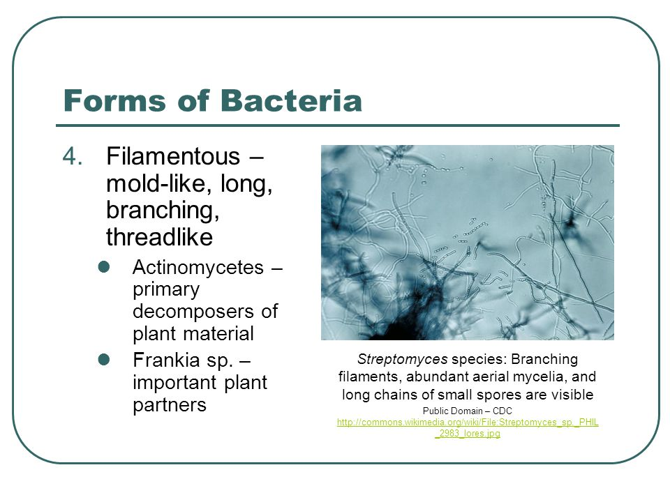 Forms of Bacteria 4.Filamentous – mold-like, long, branching, threadlike Actinomycetes – primary decomposers of plant material Frankia sp. – important