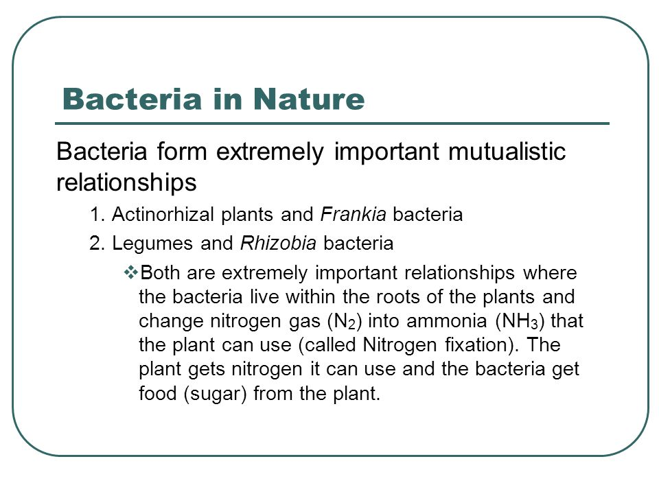 Bacteria in Nature Bacteria form extremely important mutualistic relationships 1. Actinorhizal plants and Frankia bacteria 2. Legumes and Rhizobia bac