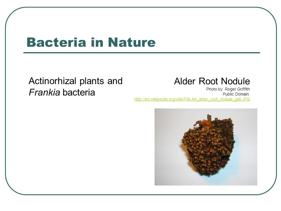 Bacteria in Nature Actinorhizal plants and Frankia bacteria Alder Root Nodule Photo by: Roger Griffith Public Domain: http://en.wikipedia.org/wiki/Fil