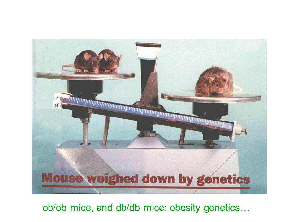 ob/ob mice, and db/db mice: obesity genetics…